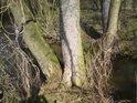 Je jisté, že vloni na těchto místech útočil na pobřežní stromy v okolí divoký chmel
